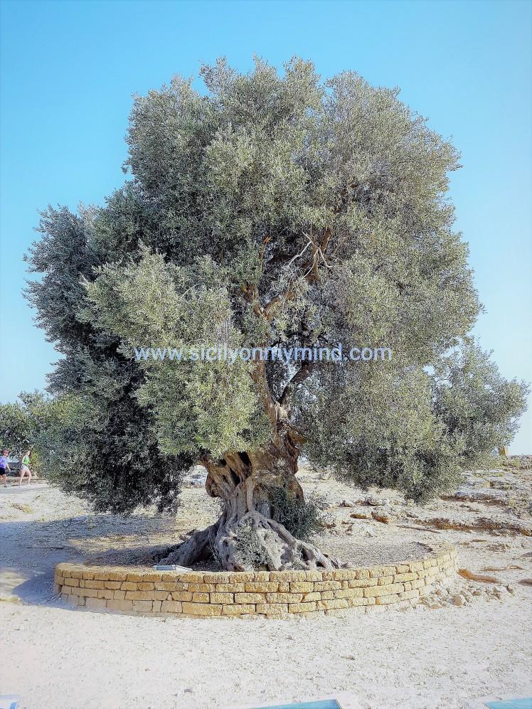 olive tree - templeofconcordia - agrigento