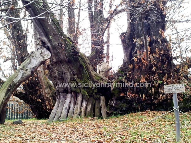 chestnut tree - sant'alfio - catania